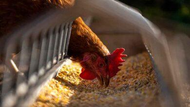 Atak-S Tavuk Fiyatları